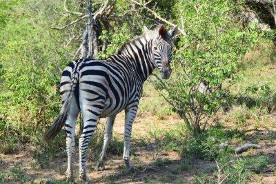 Fototapeta Zebra v Africe Ohlédnutí
