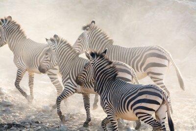 Fototapeta Zebry běží, Namibie, Afrika