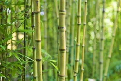 Fototapeta Zelená bambusové přírodní pozadí