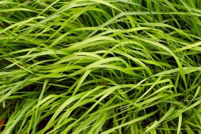 Fototapeta Zelené trávy na pozadí