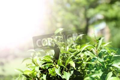 Fototapeta Zelený čaj Bush s čerstvými listy, venku