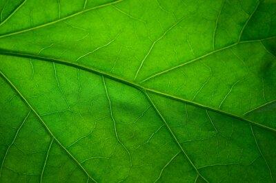 Fototapeta Zelený list