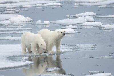Fototapeta Žena Polar Bear Cub s Yearling