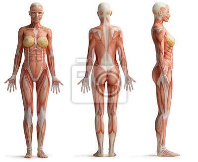 Fototapeta ženské anatomie
