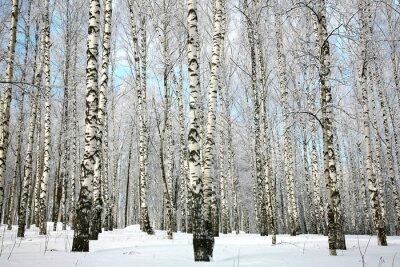 Fototapeta Zimní březový háj se na něž se vztahuje sněhem větve