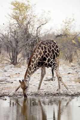 Fototapeta Žirafa, Giraffa camelopardalis, v národním parku Etosha, Namibie