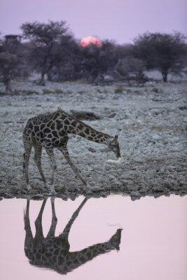 Fototapeta Žirafa na jezírko Okaukuejo.