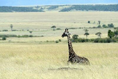 Fototapeta Žirafa v savaně