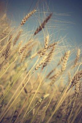 Fototapeta zlaté pšeničné pole a slunečný den