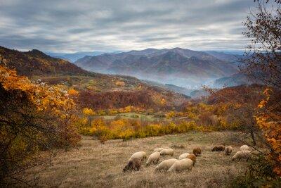Fototapeta Zlatý podzim / Amazing podzimní pohled na horské louce v centrálních balkánských hor, Bulharsku
