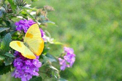 Fototapeta Žlutý motýl na fialové květiny na pozadí