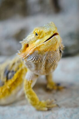 Fototapeta Žlutý vousatý drak
