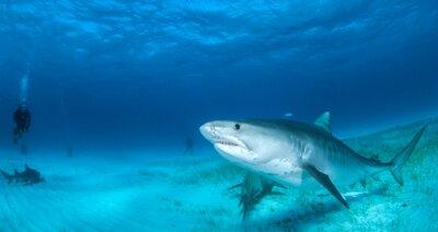 Fototapeta žralok tygří