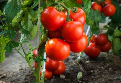 Fototapeta Zralých rajčat v zahradě připravené ke sklizni
