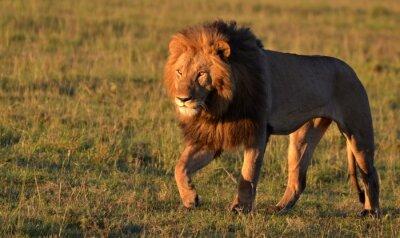Nálepka African Lion