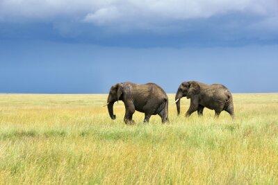 Nálepka Afričtí sloni