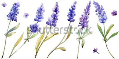 Nálepka Akvarel fialové květy levandule. Květinový botanický květ. Izolované ilustrace prvek. Aquarelle wildflower pro pozadí, textury, obal vzor, rám nebo ohraničení.