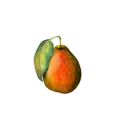Nálepka akvarel hruška