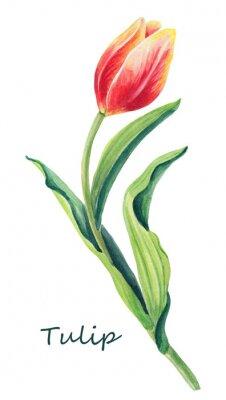 Nálepka Akvarel květinové ilustrace krásné tulipán na bílém pozadí. Cute greeting card.Přívěs červené, žluté, oranžové květy a zelené listy.Základní karta pro den žen.