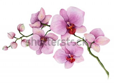 Nálepka Akvarel orchidej větev, ručně tažené květinové ilustrace na bílém pozadí.