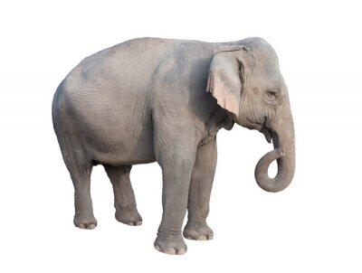 Nálepka Asia slon