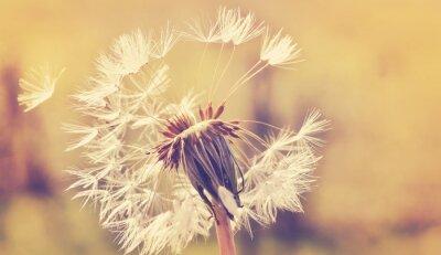 Nálepka Autumn dandelion close up