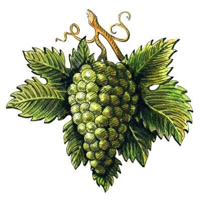 Nálepka Banda zralých zelených hroznů, akvarel ilustraci, ručně kreslenými