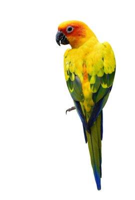 Nálepka Barevné Sun Conure, krásný žlutý papoušek pták izolovaný o