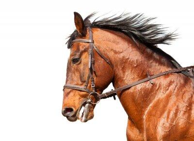 Nálepka Bay horse in profile on a white background. Close-up.