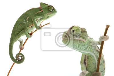 Nálepka Beautiful baby chameleon as exotic pet is isolated on white