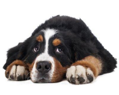 Nálepka Berner salašnický pes na bílém pozadí ve studiu, smutný pes