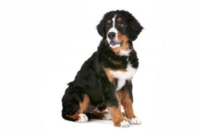 Nálepka Bernský salašnický pes štěně