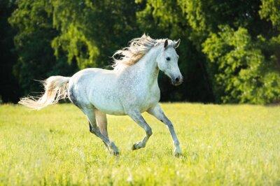 Nálepka Bílá arabský kůň běží tryskem ve světle zapadajícího slunce