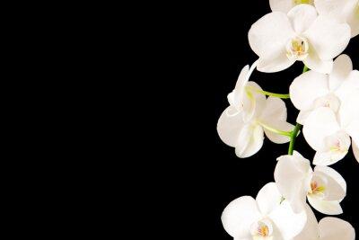Nálepka Bílá Orchidej Branch.