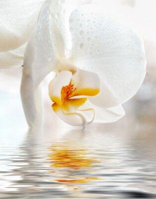 Nálepka Bílá orchidej. Detailním s odraz ve vodě.