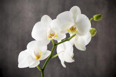 Nálepka Bílá orchidej na šedém pozadí.