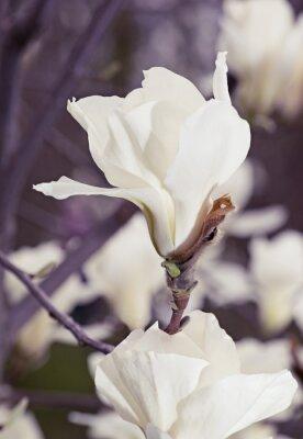Nálepka Bílé magnólie květiny
