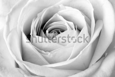 Nálepka Bílé růže, černé a bílé makro