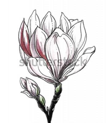 Nálepka Bílý květ magnólie tropický květ na bílém pozadí. Ručně tažené akvarel botanické černobílé monochromatické ilustrace pro svatební tisk, karta, pozvánka. Japonský styl. Retro, vintage.