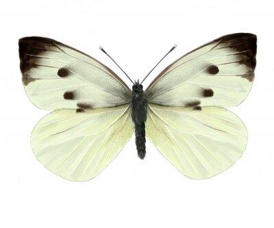 Nálepka bílý motýl