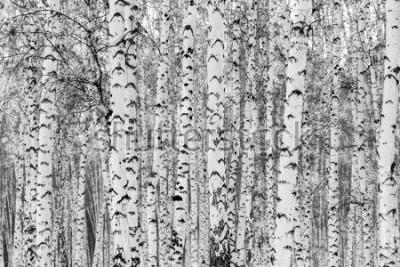 Nálepka Birch forest winter landscape, black and white photo