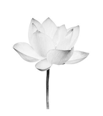 Nálepka Black and white Lotus flower isolated on white background. File contains with clipping path so easy to work.
