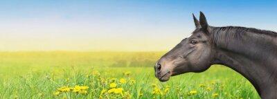 Nálepka Black Horse na letní pozadí s pampeliška, poutač