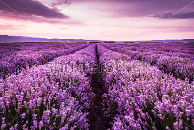 Nálepka Blooming lavender field under the purple colors of the summer sunset
