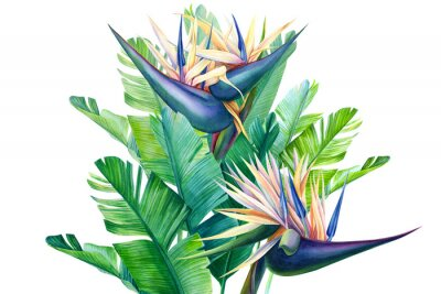 Nálepka bouquet of tropical strelitzia flowers on a white background, watercolor illustration