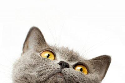 Nálepka Britská krátkosrstá kočka