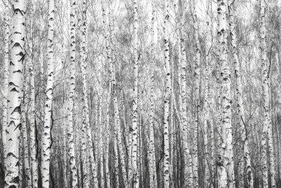 Nálepka bříza les, černo-bílý foto
