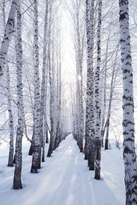 Nálepka bříza v zimě