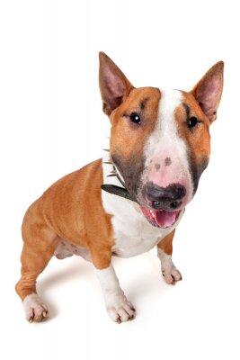 Nálepka Bull Terrier