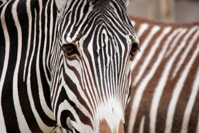 Nálepka Burchell's zebra is a southern subspecies of the plains zebra. It is named after the British explorer William John Burchell. Common names include bontequagga, Damara zebra and Zululand zebra